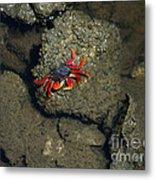 Crab Cake Metal Print