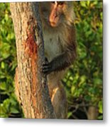 Crab Eating Macaque Metal Print by Ramona Johnston