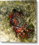 Crab In Cozumel Metal Print