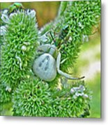 Crab Spider - Thomisidae Metal Print