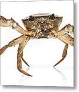 Crab Suriname Metal Print