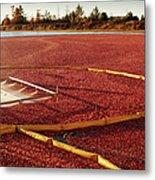 Cranberry Farm Harvesting For Metal Print