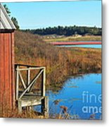 Cranberry Harvest  Metal Print by Catherine Reusch Daley