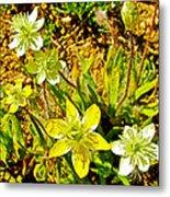 Cream Cups In Antelope Valley California Poppy Reserve-california  Metal Print