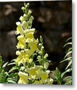 Creamy Yellow Snapdragon Metal Print