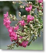 Crepe Myrtle After The Rain Metal Print