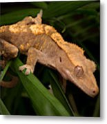 Crested Gecko Rhacodactylus Ciliatus Metal Print