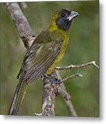 Crimson-collared Grosbeak Metal Print