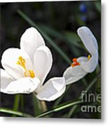 Crocus Flower Basking In Sunlight Metal Print by Elena Elisseeva