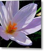 Crocus Flower Metal Print