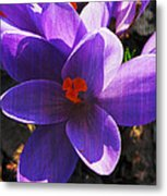 Crocus Purple And Orange Metal Print