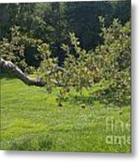 Crooked Apple Tree Metal Print