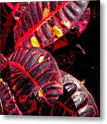Croton Leaves In Black And Red Metal Print