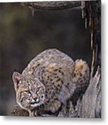 Crouching Bobcat Montana Wildlife Metal Print by Dave Welling