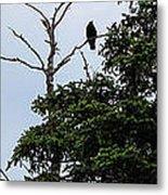 Crow - Black  Bird - Loud Call Metal Print