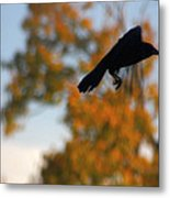 Crow In Flight 3 Metal Print