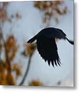 Crow In Flight 4 Metal Print