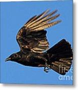 Crow In Flight Metal Print
