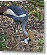 Crowned Crane And Eggs Metal Print