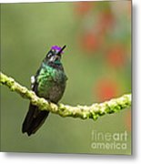 Crowned Hummingbird Metal Print