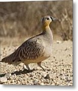 Crowned Sandgrouse Pterocles Coronatus Metal Print