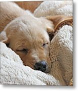 Cuddling Labrador Retriever Puppy Metal Print