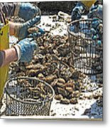 Culling Oysters Metal Print