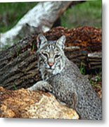 Curious Bobcat  Metal Print by Jean Clark