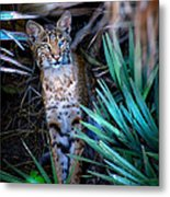 Curious Bobcat Metal Print by Mark Andrew Thomas