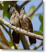 Curious Brown Babblers Metal Print