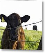 Curious Calf Looking Through Barbed Wire Fence Metal Print