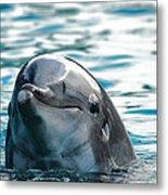 Curious Dolphin Metal Print
