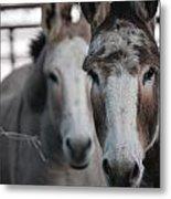 Curious Donkeys Metal Print