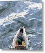 Curious Duck Metal Print