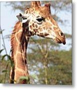 Curious Giraffe 2 Metal Print
