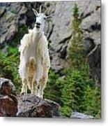 Curious Goat Metal Print