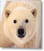 Curious Polar Bear Metal Print