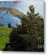 Curious Sheep In A Grassy Meadow Metal Print