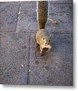 Curious Squirrel Metal Print