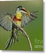 Curl-crested Aracari About To Perch Metal Print