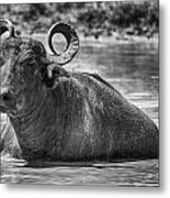 Curly Horns-black And White Metal Print