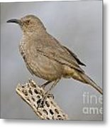 Curved Bill On Cactus Rib Metal Print
