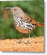 Curvedbill Thrasher With Grub Metal Print