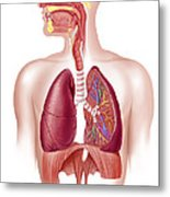 Cutaway Diagram Of Human Respiratory Metal Print