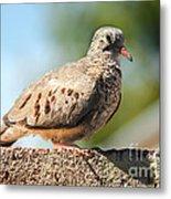 Cute Inca Dove Metal Print by Robert Bales
