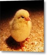 Cute Little Chick Metal Print