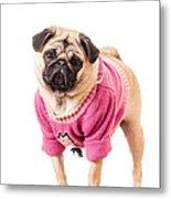 Cute Pug Wearing Sweater Metal Print