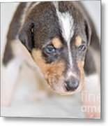 Cute Smooth Collie Puppy Metal Print