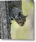 Cute Squirrel  Dare Me Metal Print