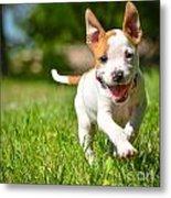 Cute Stafford Puppy Running On Field Metal Print